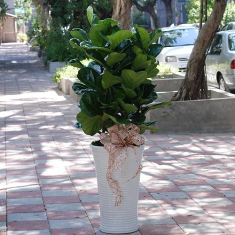 室內盆景 琴葉蓉盆栽 盆栽 植物 室內盆景 長綠植物
