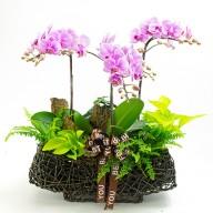 祝賀送禮 古坑美人蝴蝶蘭盆栽