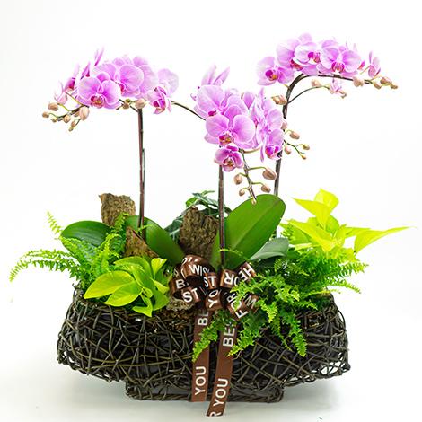 祝賀送禮 古坑美人蝴蝶蘭盆栽 喬遷 新居落成 開幕送花