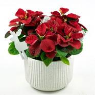 高人氣聖誕佈置裝飾 新品種 卡哇伊米妮聖誕紅盆栽組合