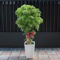 開幕誌慶 富貴樹盆栽
