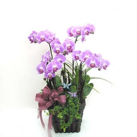 蝴蝶蘭花 蘭花盆栽 蘭花盆栽 蘭花 蘭花圖片 蝴蝶蘭花