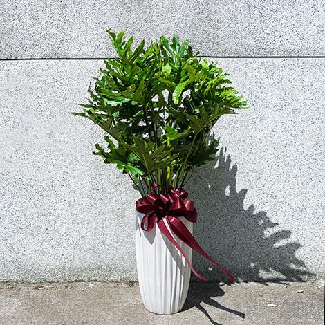 蜜天使盆栽 大型盆栽 月桂樹