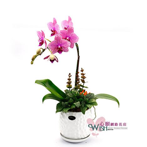 網路花店 精選蘭花組合盆栽  好禮物最喜歡 網路花店 蘭花組合盆栽