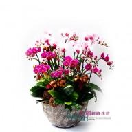 台北市花店 豐盛蝴蝶蘭花 網路訂花方便