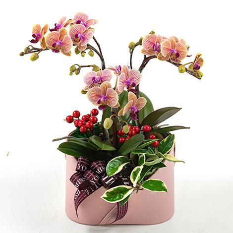 母親節送禮物甚麼好 媽媽最愛蘭花盆栽 康乃馨盆花 母親節禮物送什麼好